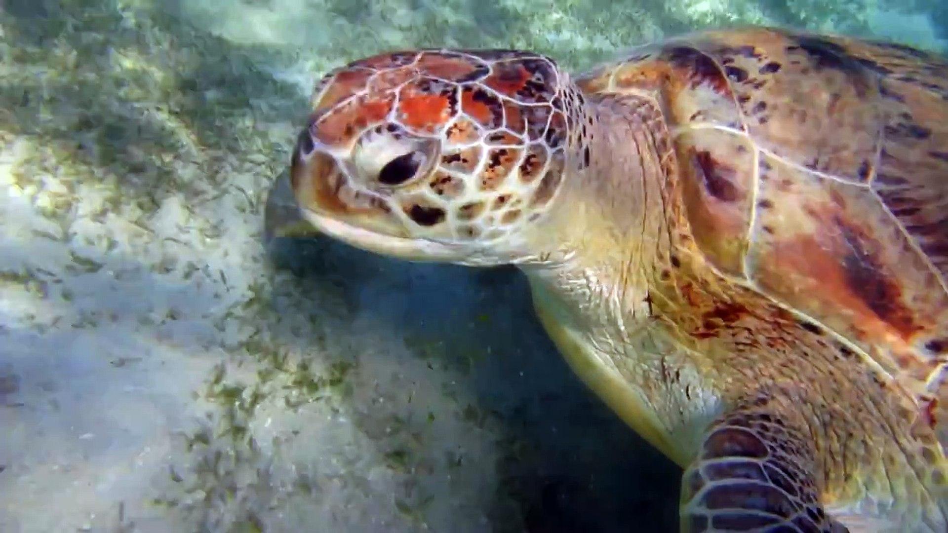Черепахи и скаты Марса Мубарак, Марса Алам, Египет. Turtles and rays of Marsa Mubarak