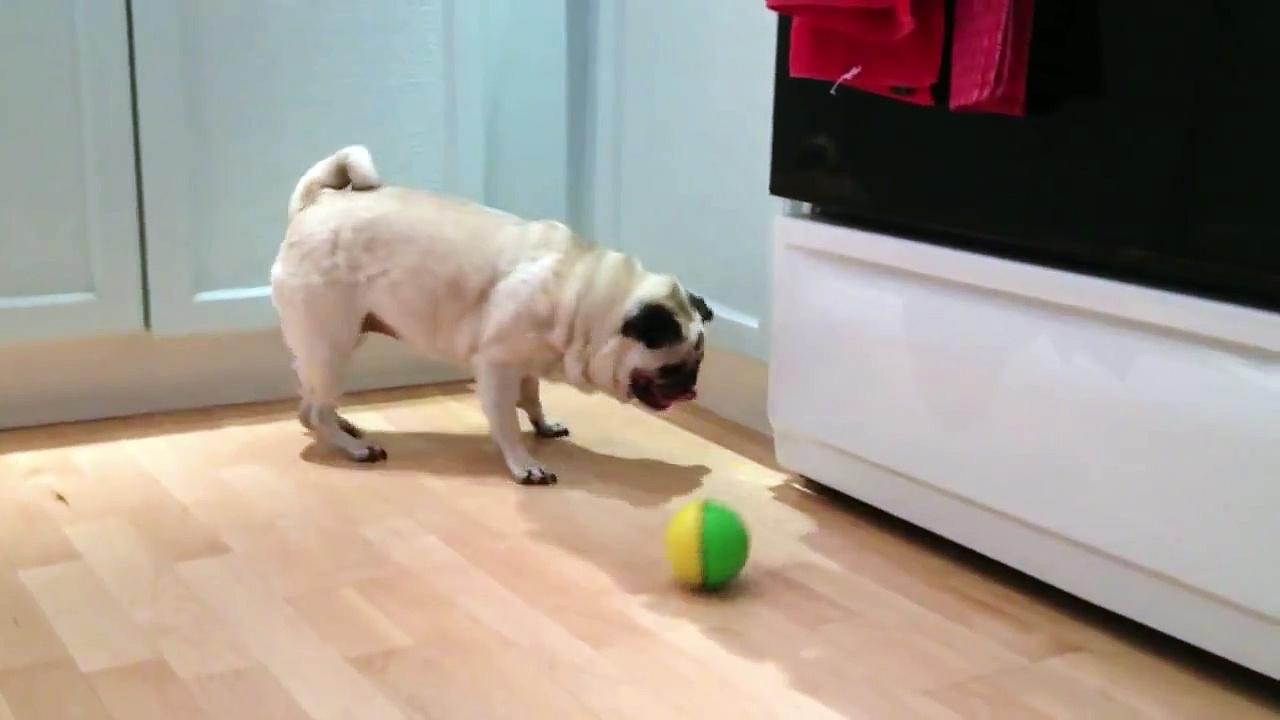 Blind pug playing fetch