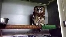 Rescued Baby owl loves getting tickled! Funny animals