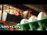 Hot weather affects egg production in Pangasinan