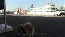 ポメラニアン・ジャック 神戸・淡路島旅行 pomeranian Jack trip for Kobe & Awaji