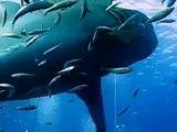 Lo squalo bianco più grande del mondo avvistato in Messico