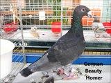 Fantezi Güvercin G, G ile İngilizce göster Güvercin Irkları  / Fancy Pigeon Breeds G, show Pigeons in English with G