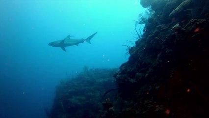 Shark Diving In Cuba's Jardines de la Reina