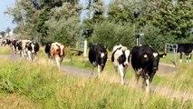 koeien over straat