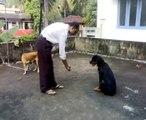 Dog Tricks - Rottweiler(5 months)