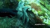 참문어(Octopus vulgaris)~ Common octopus