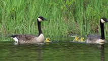 Canada Geese swim with their newly hatched chicks