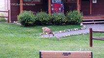 Deer and bunny play like Bambi and Thumper
