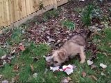 Border Terrier, Daisy: one very happy border terrier pup!