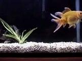 """Goldfish telescopico  """"Moro groove"""""""