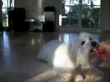 My dog Cooper a Bichon Maltese
