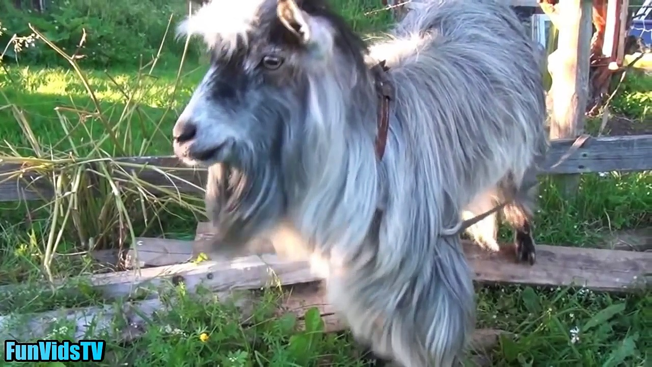 Funny Goats Video – Funny Goat Videos Ever – Funny Animals Video Compilation