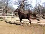 Quarter horse halter mare for sale,halter quarter horses