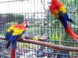 Hellrote ara, scarlett macaw ,ara macao