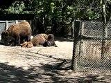 Toronto Travel: High Park Zoo - buffalos