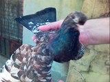 oriental rollers Orijentalische Roller tauben pigeon