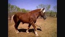 Belgian Draft Horses for sale, 7yo Stallion, 10yo Mare San Antonio Texas
