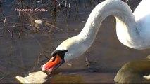 Swans are only more beautiful geese, but I love swans ! Schwäne sind auch nur schönere Gänse ♥