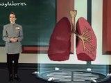 El Cuerpo Humano - LOS PULMONES
