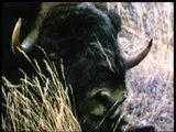 Willie the Musk Ox, Sondre Stromfjord 1969, music by Al Perry