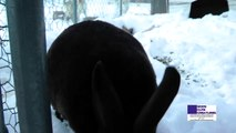 Black Mini-Rex Bunny Rabbit Playing In Snow, Eating Snow, And Sniffing Camera