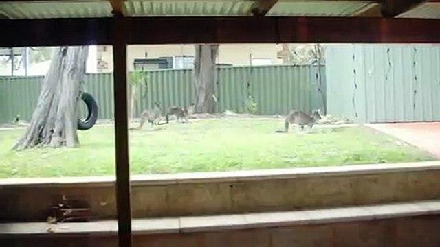 Daily Kangaroo House Guests