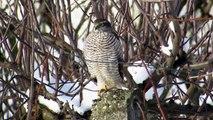 Sparrowhawk hunting at the bird feeder and eating (Kobac lov, Sparrowhawk attack)