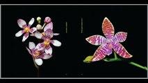 Flori Mundi 2014 - Flori Mundi Orchids book