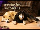 dog trick: Circle Around Objects with Lapphund & Akita Inu