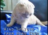 Scottish Fold Cat Basil Farrow, cutest cats in the world, baby munchkin kitten lion cub