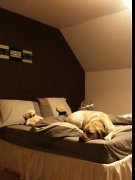 Dog making bed!