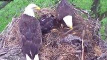 MNBound Eaglets Nest Building 101