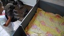 Vidéo chiots chiens loups tchécoslovaques âgés 22 jours Elevage des Loups d'Akairo 2013