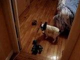 bouledogue français chien mignon