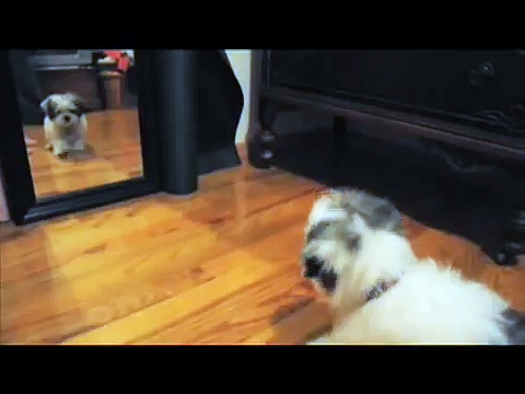maltese shih-tzu (malshi) puppy barking at the mirror.