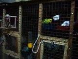 Мои попугаи: ужин