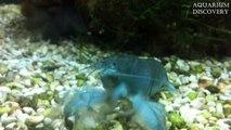 Blue Crayfish - Cherax quadricarinatus / Australian red claw crayfish / Tropical blue crayfish