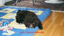 spanish water dog clips