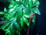 amazon basin emerald tree boa (SAm)  and amy emerald tree boa