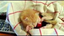 Kitten Dreaming - Chaton Rêveur