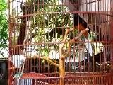 MURAI BATU Gacor JUARA! Murai Batu Medan Juara Nasional Gacor murai SUPER 2015 murai batu 100 juta