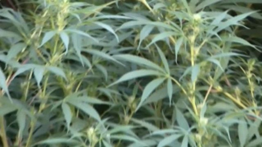 Cultivo de marihuana, cada vez con más productos en los comercios uruguayos