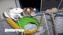 ♥ Cute Pictures Of My Adorable Rats ♥ The Lion Sleeps Tonight (Capella) ♥