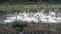 Mute Swans & Australian Black Swan at Abbotsbury Swannery Dorset ~ Mute Swan ~ Birds UK