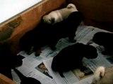 Filhotes de PUG  60 dias x Filhotes de Rottweiler 21 dias