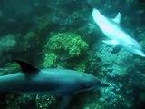 Plongée avec les Dauphins à Marsa Shagra - Diving with dolphins - Févr 2011