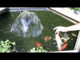Our Koi Carp Gold Fish Hand Feeding In Our Raised Koi Pond Filter