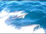 Golfinhos em Cascais - Barco Adamastor - Dolphins in Cascais