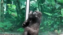 Feeding Gorillas - Fütterung Gorillas - Tierpark Hellabrunn